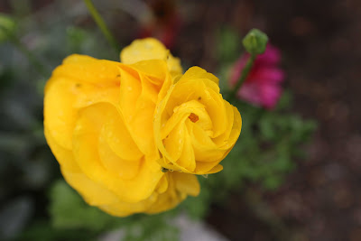 Spring Backyard Photography in Los Angeles - Yellow Begonia