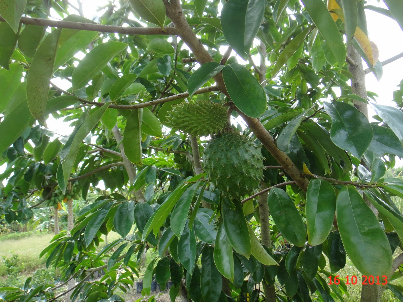 feasibility of guyabano annona muricata as Graviola is a tree prevalent in the rain forests of africa, south america, and southeast asia the fruits, also known as soursop, are consumed as food the leaves and stems are used in traditional medicine for symptoms associated with inflammation and infection.