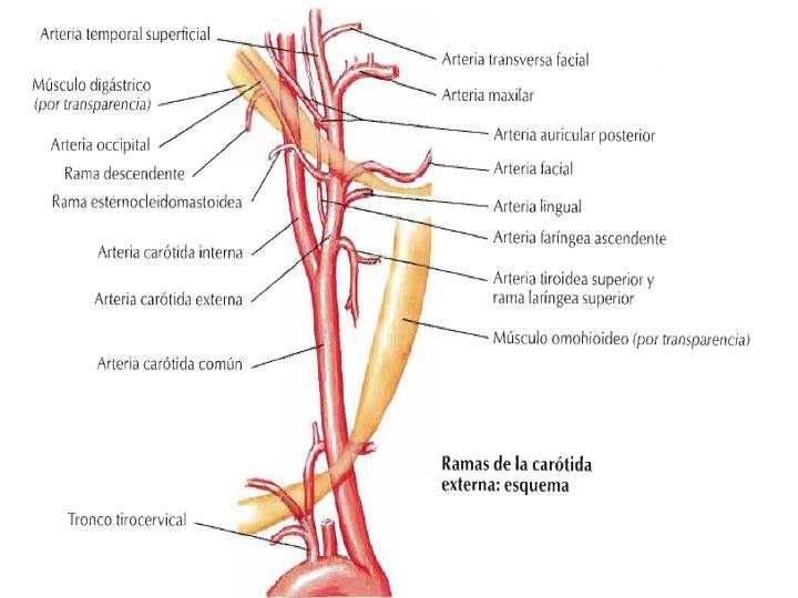 FCM-UNAH Anatomía Macroscópica: Arteria Carótida Externa y sus Ramas
