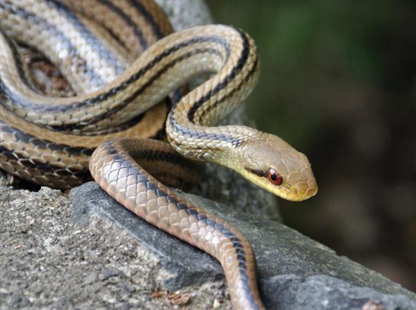 シマヘビの画像 p1_36