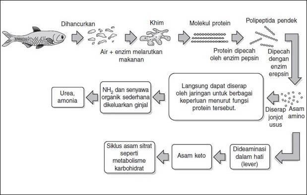 Proses Pencernaan Protein dalam Tubuh Manusia