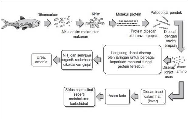 Mekanisme proses pencernaan protein dalam tubuh manusia ccuart Images
