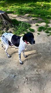 cane adozione caccia pointer Firenze