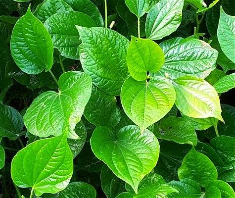 http://penjualanobatherbalalami.blogspot.com/2014/03/informasi-manfaat-daun-sirih-untuk-obat.html