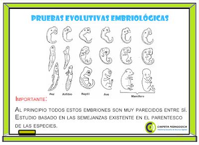 Pruebas Evolutivas Embriológicas