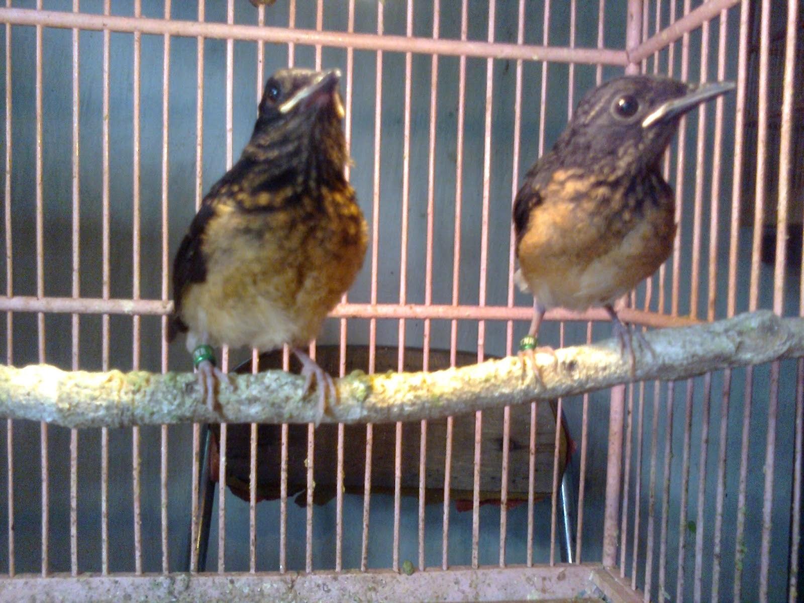 daftar harga burung murai batu anakan terbaru 2017