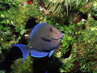 blue fish (25)