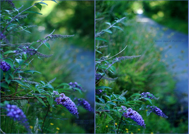 purple, flower, road, blue, green,  Summer light © Annie Japaud Photography 2013