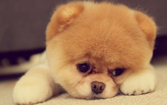 puppy sad face dog animals hd wallpaper image