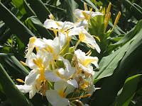 ハワイでは首にかける花飾りに使う花という。