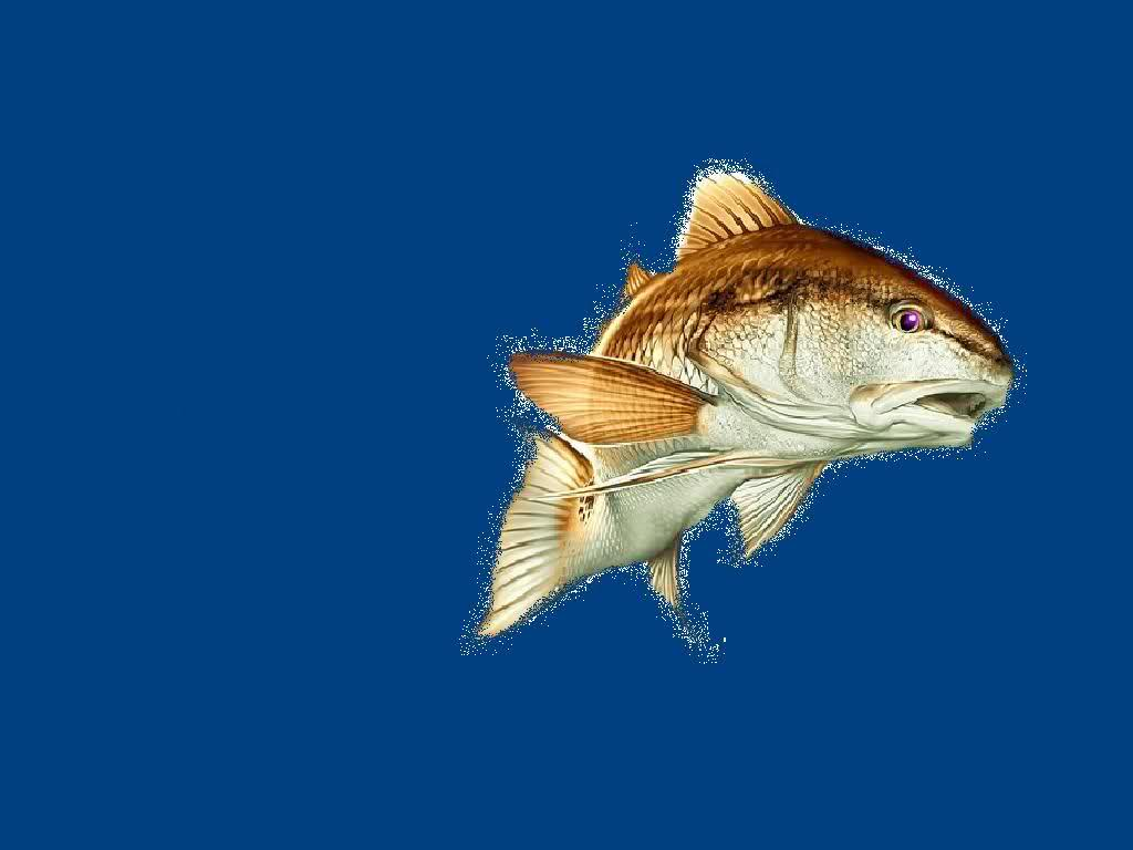 Wallpaper sea redfish background for Red fish pictures