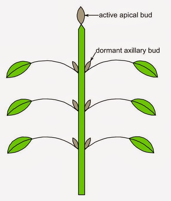 how to grow monster buds
