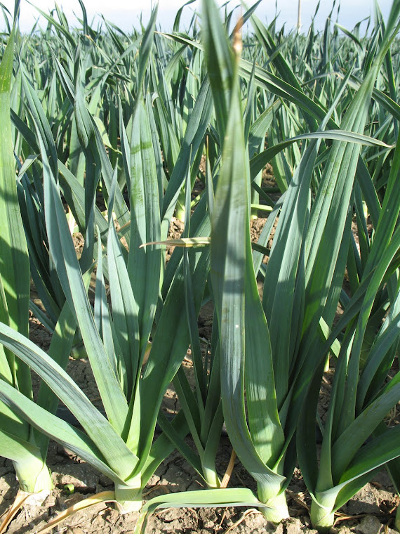 Leeks- Miles and Miles of Leeks to be Seen!