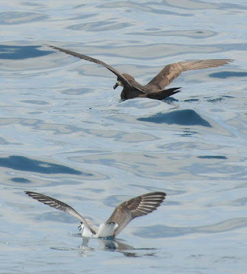 Grey-faced Petrel (Pterodroma macroptera gouldi) and Cook's Petrel (Pterodroma cookii)
