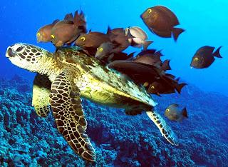green sea turtle facts