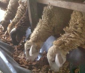 Cara Aman Meningkatkan Bobot Ternak Domba