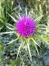 La flor del Cardo