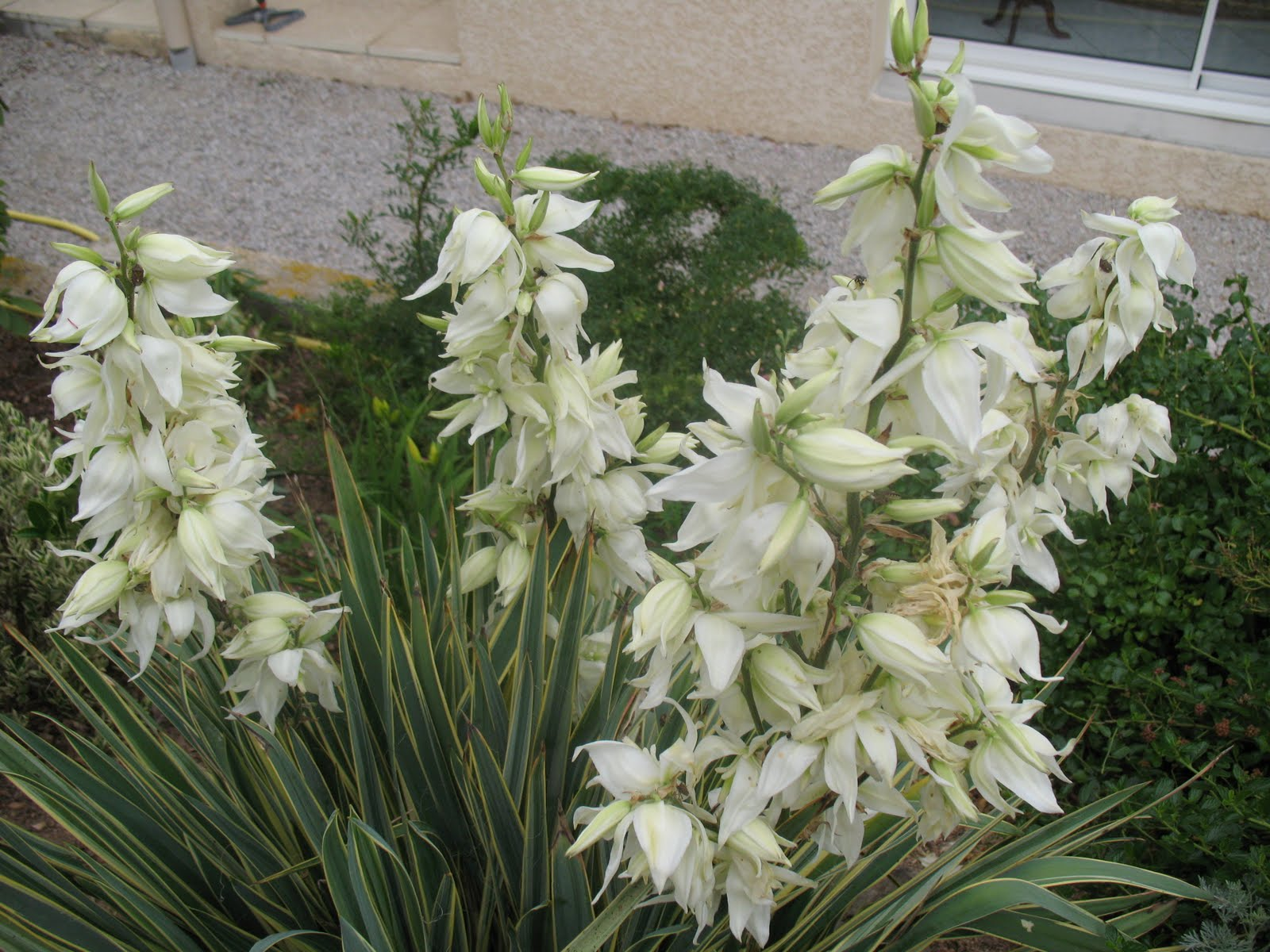 Roses du jardin ch neland yucca filamentosa bright edge for Plante decorative jardin