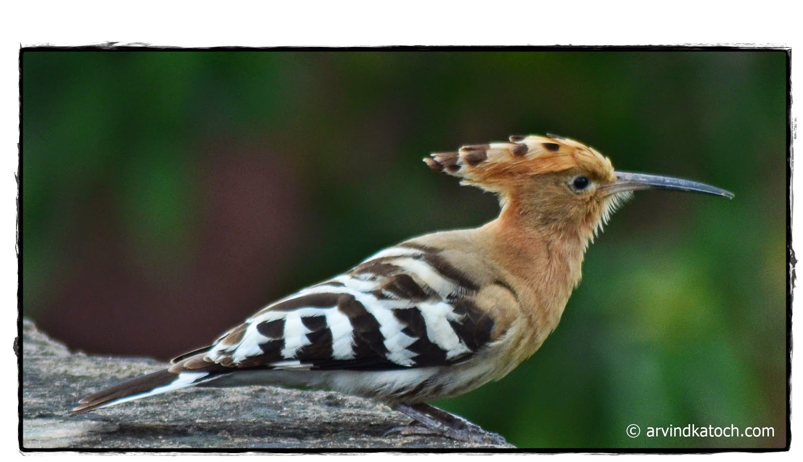 Crown, Hoopoe, Bird
