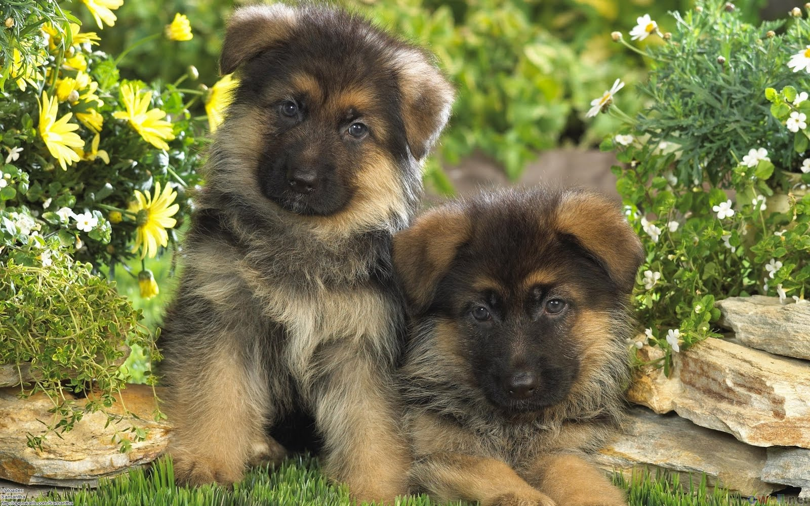german shepherd puppies dogs wallpaper pictures of animals 2016. Black Bedroom Furniture Sets. Home Design Ideas