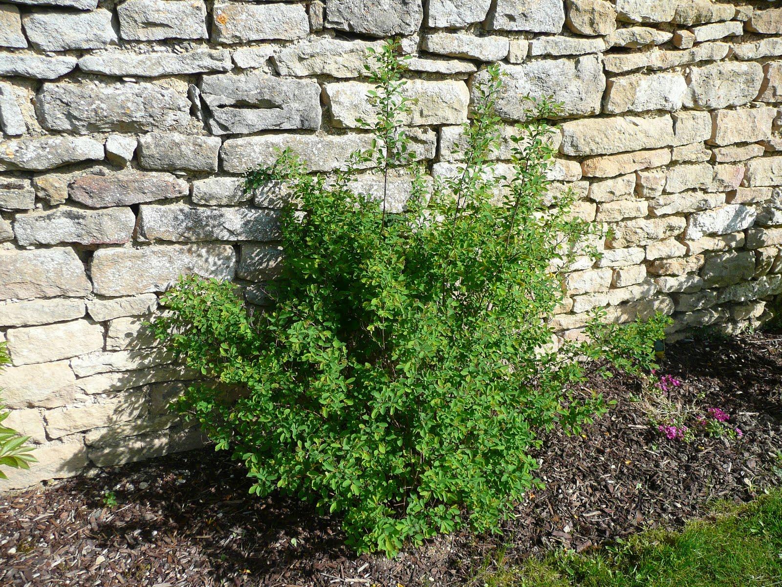 Notre jardin secret avril fais ce qu 39 il te plait - Arbuste floraison printaniere jaune ...