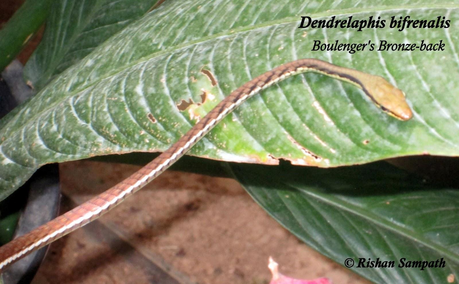 පදුරු හාල්දන්ඩා Dendrelaphis bifrenalis