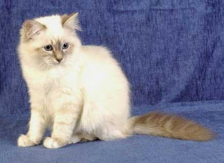 birman cat, cat, Cats, pet, pets,