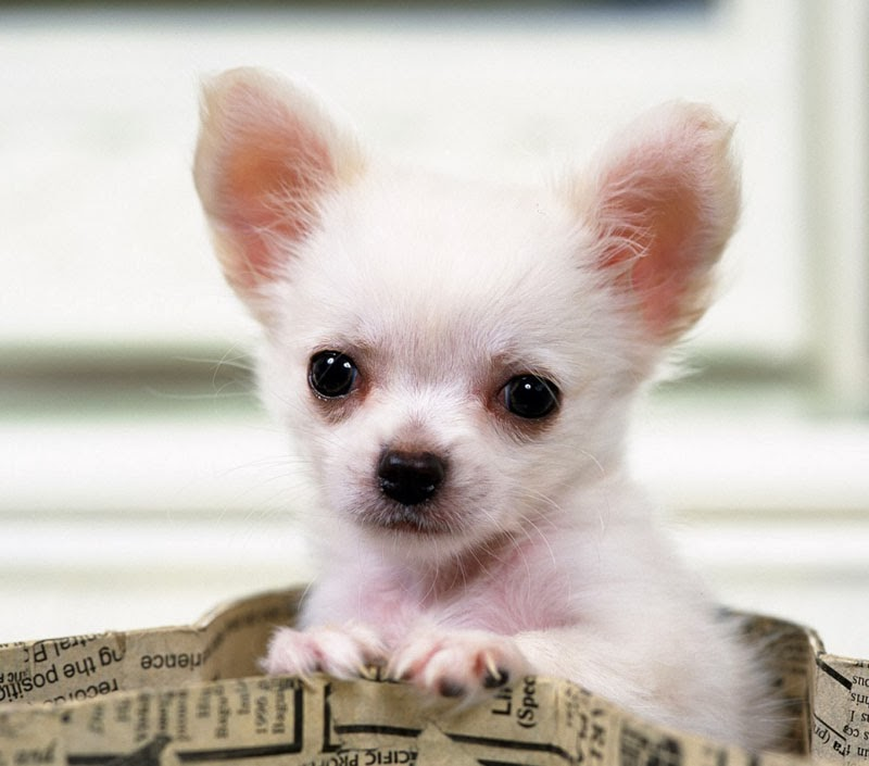 ... dogs: teacup chihuahua | mini chihuahua |different breeds of dogs|cute