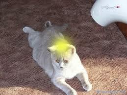 chory kot