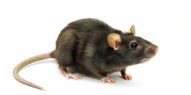tikus cokelat