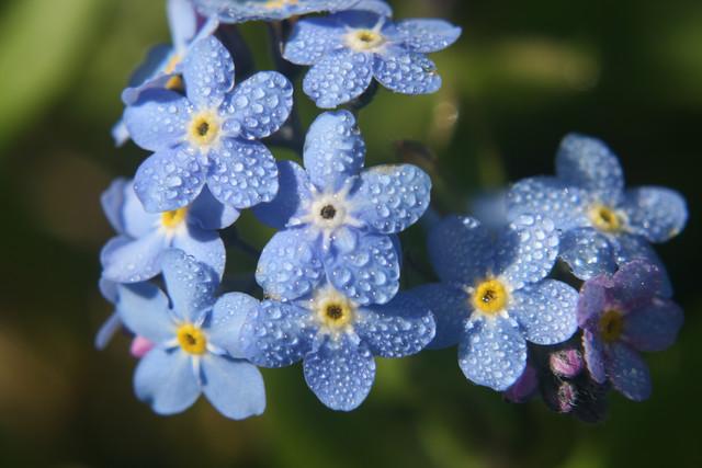 Roua diminetilor albastre...