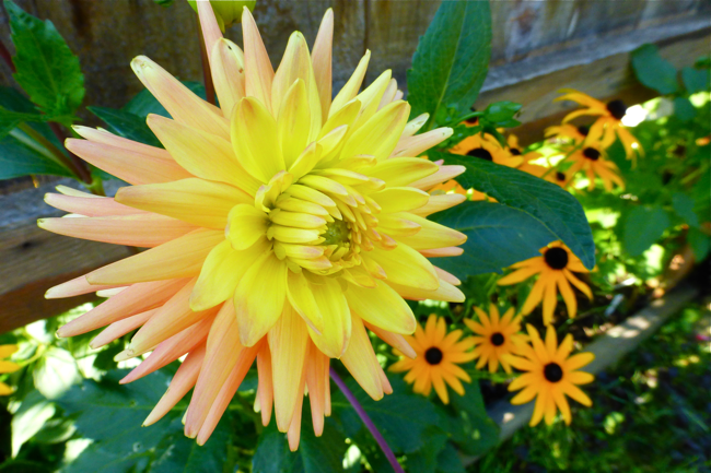 dahlia, cactus dahlia, orange yellow dahlia, yellow orange dahlia, garden