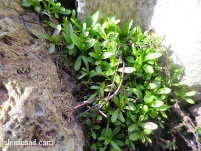 Myosotis scorpioides, незабудки, весна, веcной, ростки, черенки, аленин сад, aleninsad