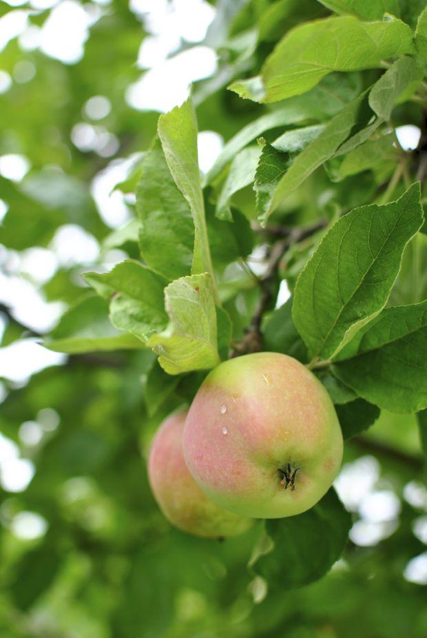 äppelträd äpplen