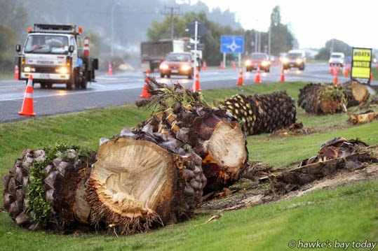 Phoenix Palms in Prebensen Drive, Onekawa, Napier, chopped out to make way for the road to be increased to four lanes. photograph