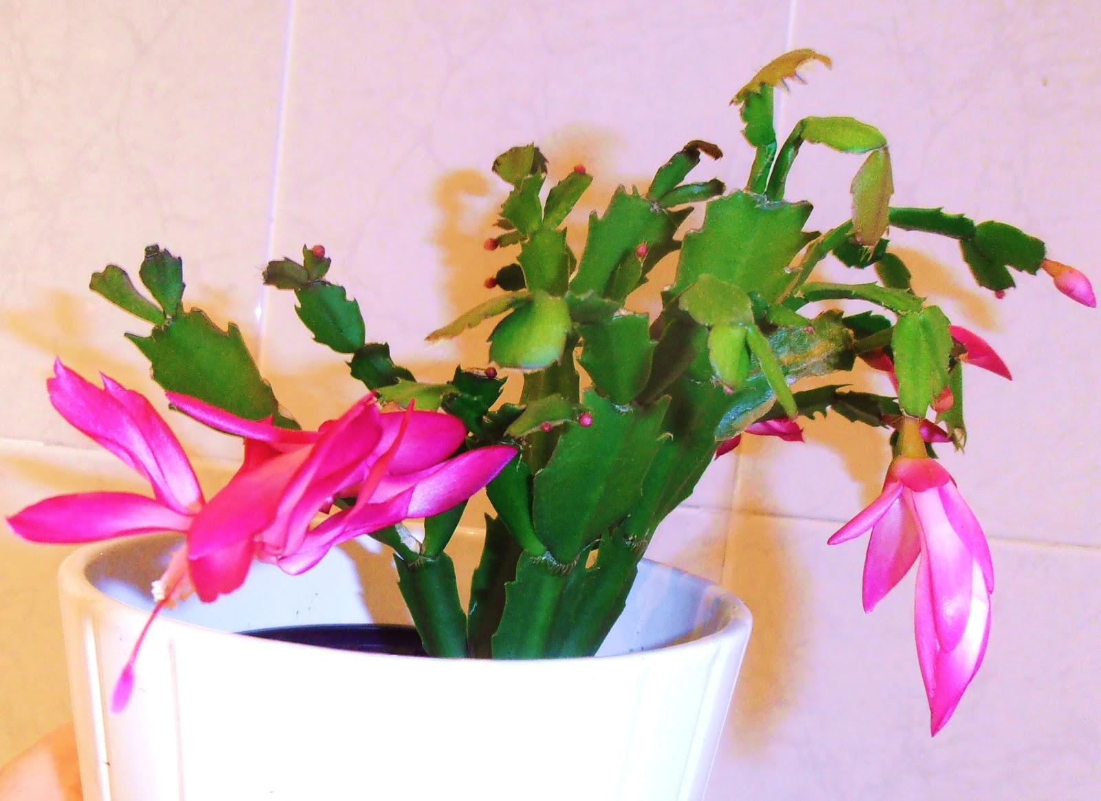 La ventana de javiruli plantas de interior 3 cactus de - Cactus cuidados interior ...