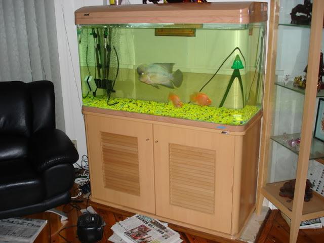 Cichlid Fish Tank Big Head Flowerhorn Fish Tank