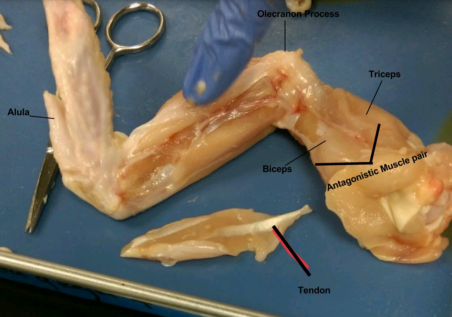 Chicken Wing Dissection by: Rajni and Shakira | 4th Period ...