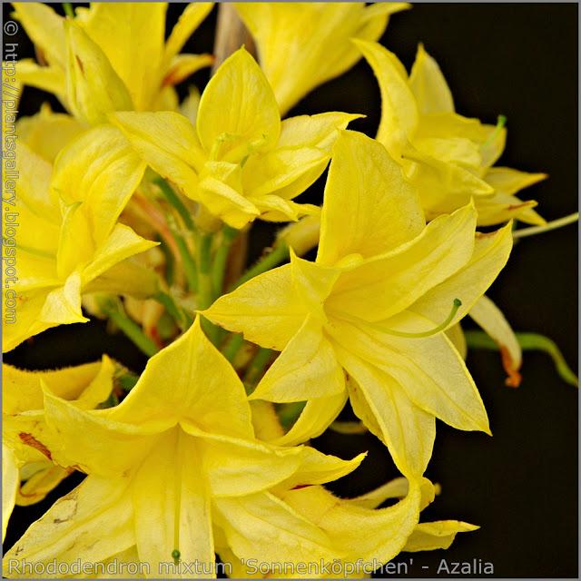 Rhododendron mixtum 'Sonnenköpfchen' - Azalia  'Sonnenköpfchen'