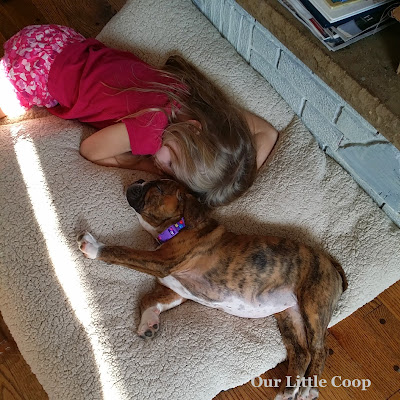 victorian bulldog, puppy, kids, temperament, lazy, good