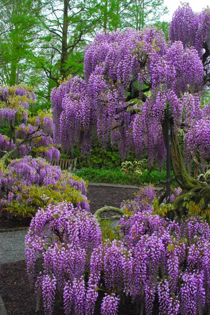 The glorious purple of wisteria.