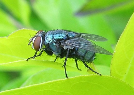 Blowfly Blowfly ~ Insects Worl...