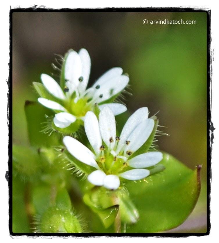 White flowers, Tiny flowers, Wild flower, Himachal Flowers,