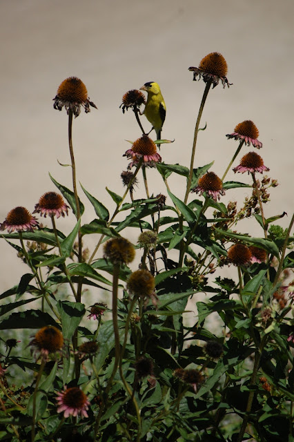 Goldfinch on coneflower