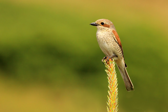 Red-backed shrike photography