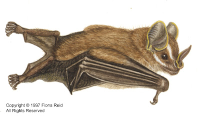 Pygmy fruit eating Bat