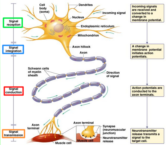 What is a somatic motor neuron for What is a motor neuron