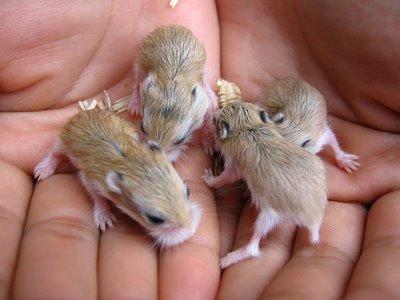 Lo sviluppo dei cuccioli di criceto pets life for Terrario per tartarughe neonate