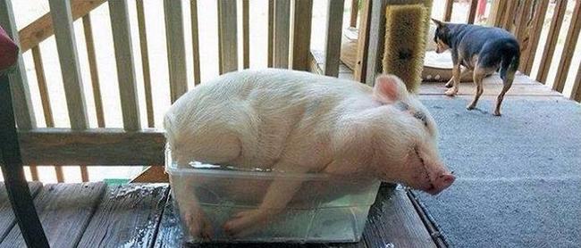 fotos de cerdos