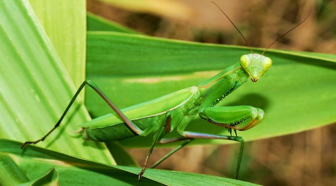 Mantis y mimetismo para sobrevivir